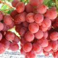 Manfaat Buah Anggur Bagi Kesehatan Tubuh 120x120 » Manfaat dan Kandungan Nutrisi Buah Anggur Bagi Kesehatan