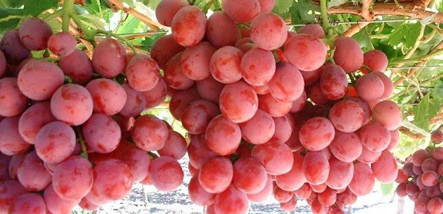 Manfaat Buah Anggur Bagi Kesehatan Tubuh 645x312 » Manfaat dan Kandungan Nutrisi Buah Anggur Bagi Kesehatan
