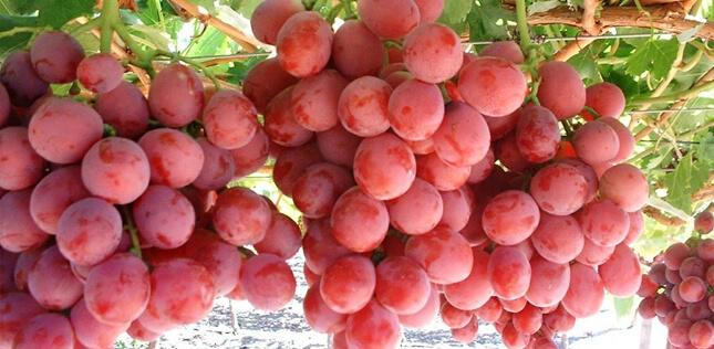 Manfaat Buah Anggur Bagi Kesehatan Tubuh » Manfaat dan Kandungan Nutrisi Buah Anggur Bagi Kesehatan
