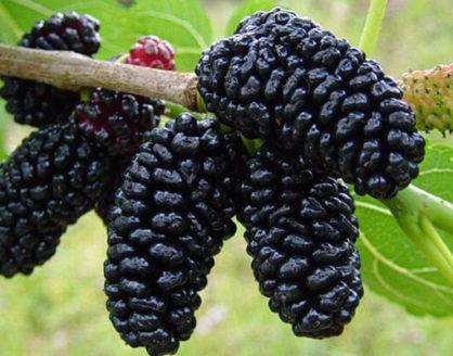 Manfaat Buah Mulberry Bagi Kesehatan 418x328 » Kandungan Gizi dan Manfaat Buah Mulberry Bagi Kesehatan