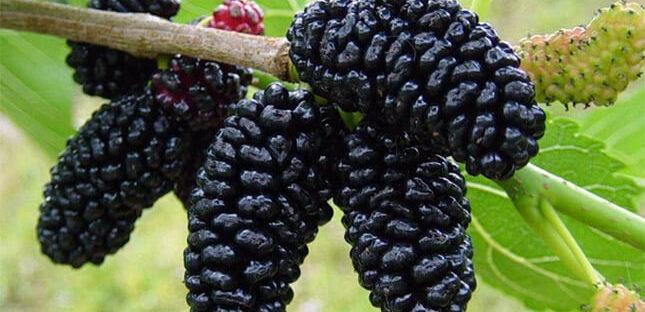 Manfaat Buah Mulberry Bagi Kesehatan 645x312 » Kandungan Gizi dan Manfaat Buah Mulberry Bagi Kesehatan