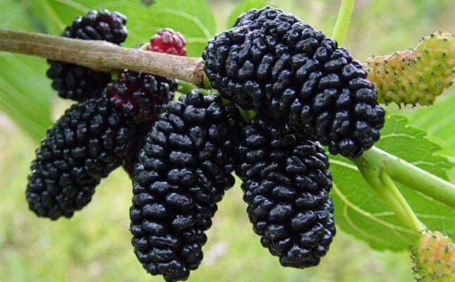 Manfaat Buah Mulberry Bagi Kesehatan » Kandungan Gizi dan Manfaat Buah Mulberry Bagi Kesehatan