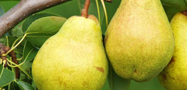 Manfaat Buah Pear Bagi Kesehatan Tubuh 645x312 » Kandungan Gizi, Khasiat dan Manfaat Buah Pear Bagi Kesehatan