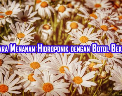 cara menanam hidroponik dengan botol bekas 418x328 » Cara Budidaya Tanaman Metode Hidroponik dengan Botol Bekas