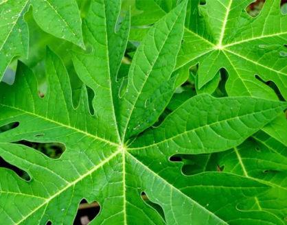 manfaat dan faedah daun pepaya bagi tubuh 418x328 » Ketahui Manfaat Daun Pepaya bagi Kesehatan dan Kandungan Gizinya