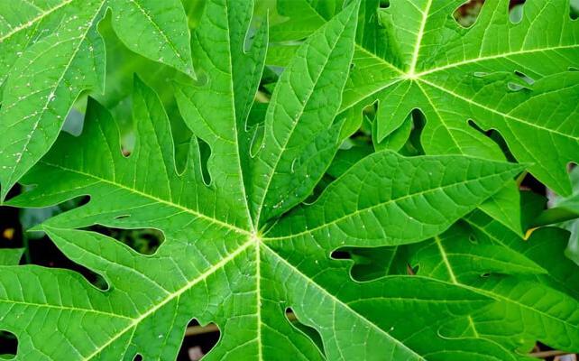manfaat dan faedah daun pepaya bagi tubuh » Ketahui Manfaat Daun Pepaya bagi Kesehatan dan Kandungan Gizinya