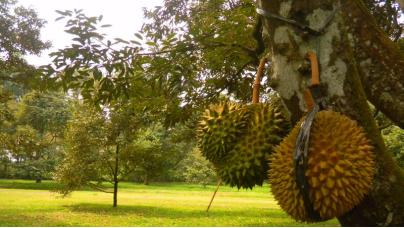 tempat wisata bogor taman buah mekarsari » Referensi Tempat Wisata Bogor Yang Paling Populer