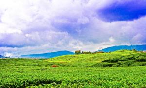 wisata kebun teh kayu aro jambi 300x180 » 3 Fakta Unik Seputar Perkebunan Teh Kayu Aro Jambi yang Wajib Anda Tahu
