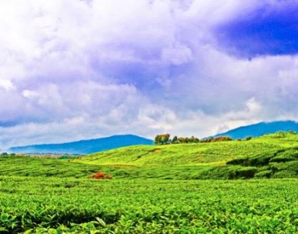 wisata kebun teh kayu aro jambi 418x328 » 3 Fakta Unik Seputar Perkebunan Teh Kayu Aro Jambi yang Wajib Anda Tahu