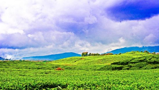 wisata kebun teh kayu aro jambi 548x312 » 3 Fakta Unik Seputar Perkebunan Teh Kayu Aro Jambi yang Wajib Anda Tahu